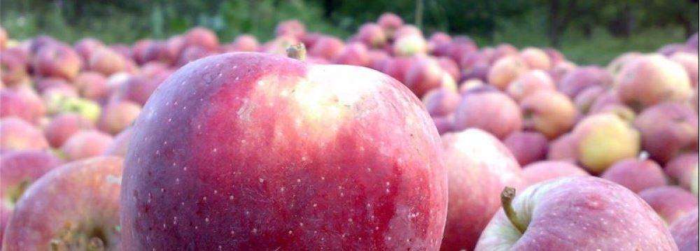 صادرات التفاح الإيراني صادرات التفاح الإيراني أكثر من 760 مليون دولار خلال 9 أشهر